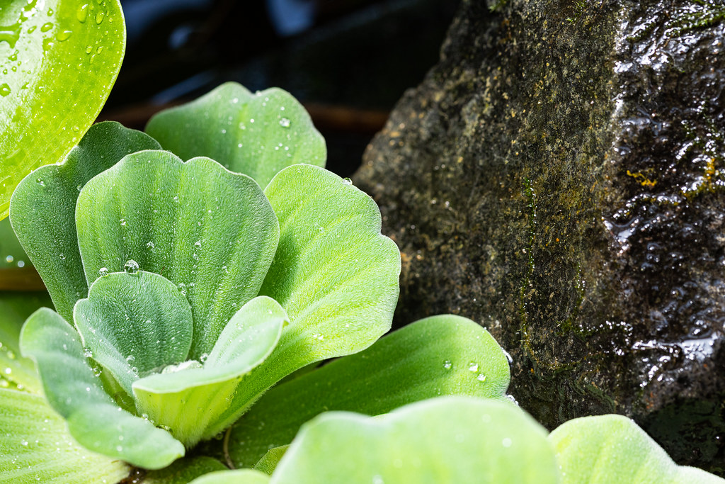 Pistia stratiotes with water drops