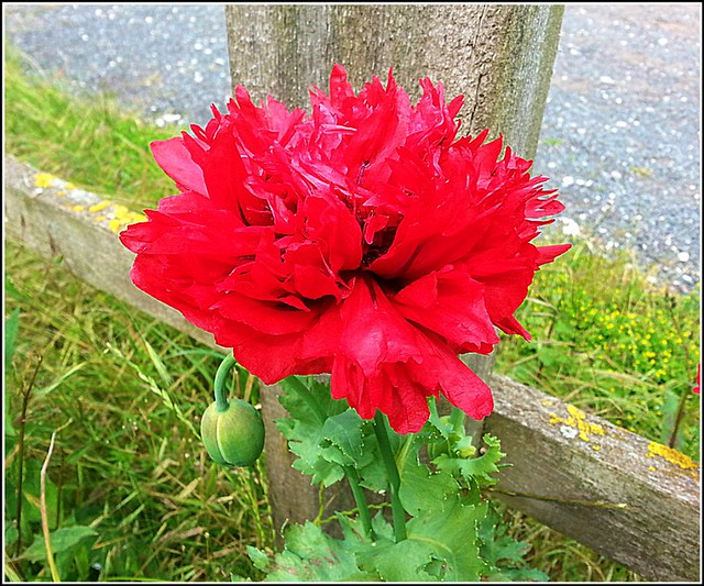 Poppy and a Post ...