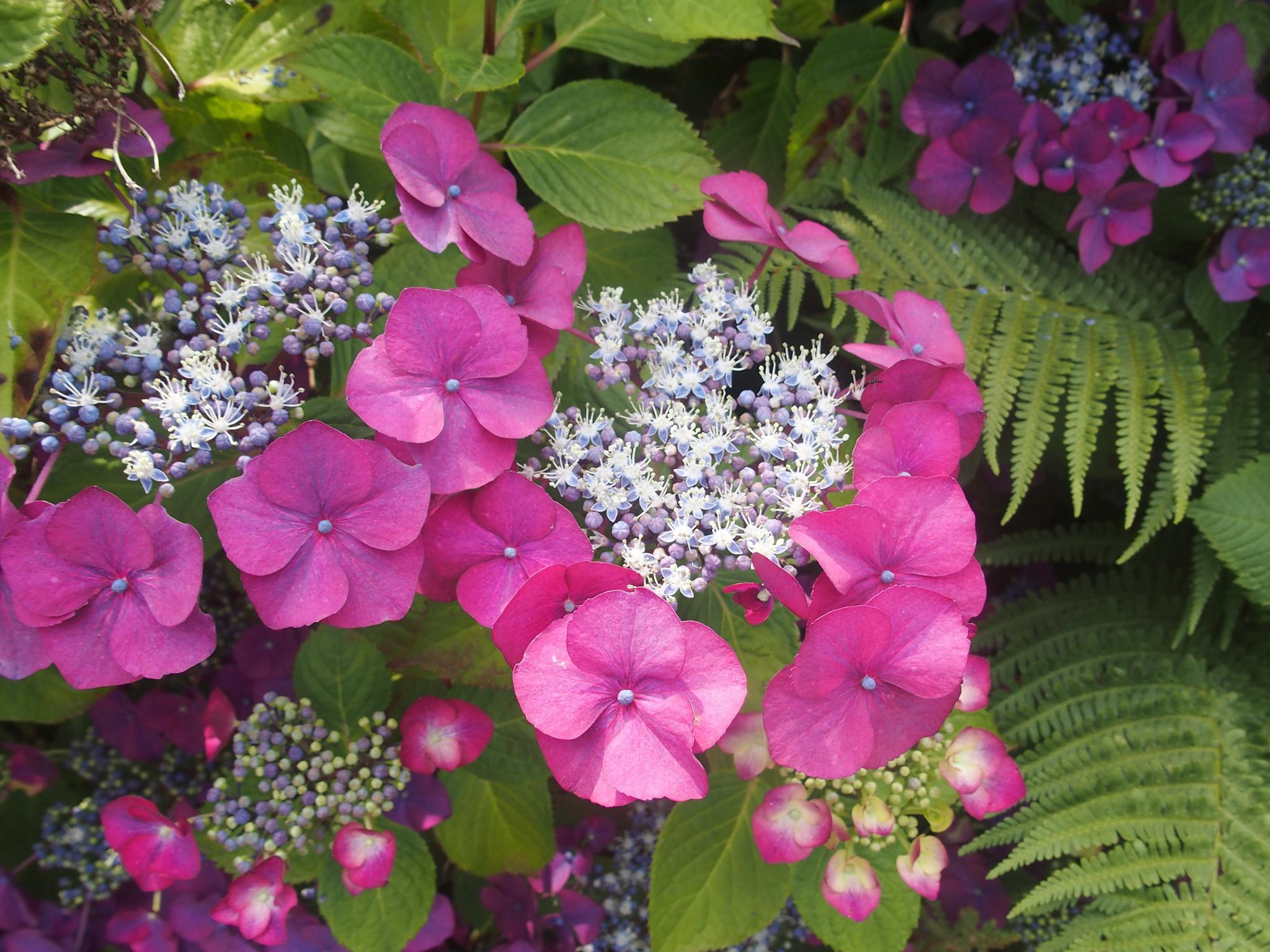 Hortensia blomman