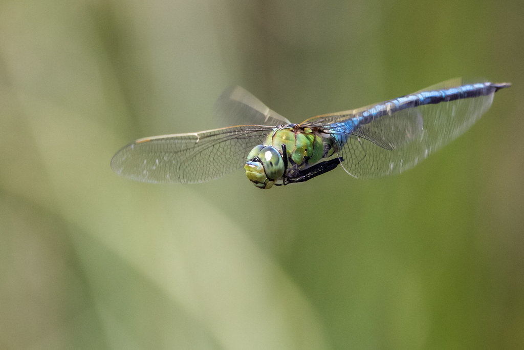 Post your Dragonflies and Damselflies -- Macro in photography-on-the