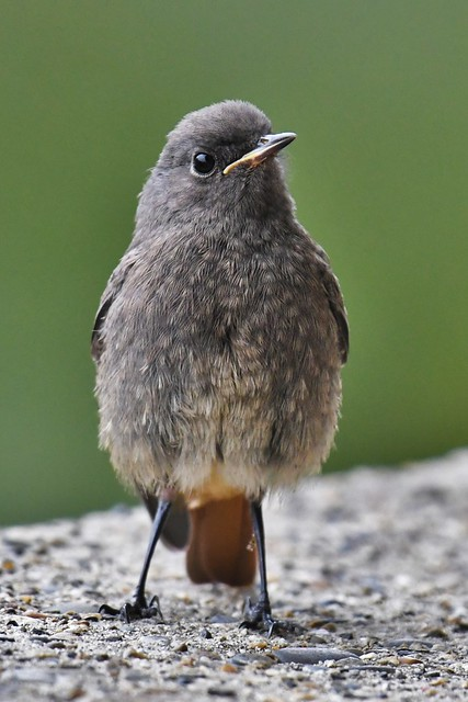 Jeune rouge-queue noir - Phoenicurus ochruros - Young black redstart
