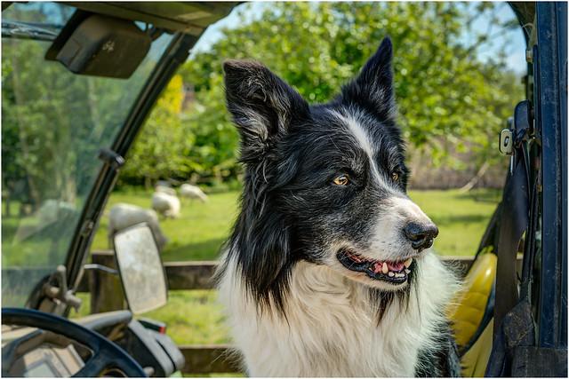 'Driver' - Border Collie Sheepdog.