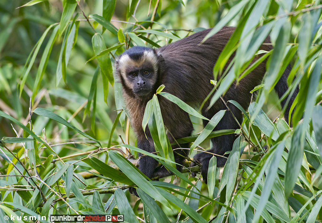 brown capuchin monkey (cebus apella)