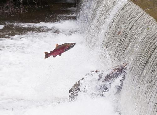 coho salmon fall creek oregon