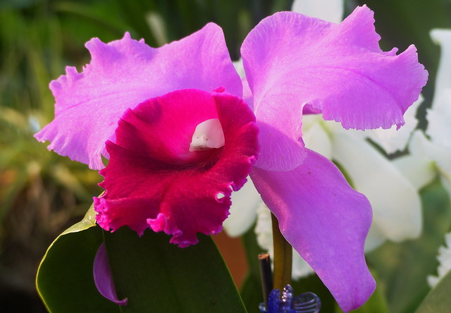 Orchid Beauty