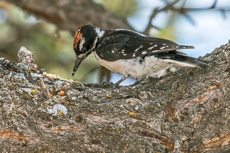 Hairy-Woodpecker-35-7D2-072519