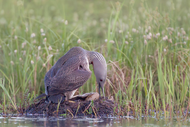 Red-throated Loon on Nest - Nome