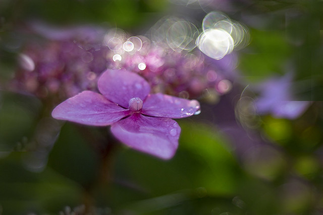After the morning rain on Hydrangea macrophylla with soap-bubble bokeh.