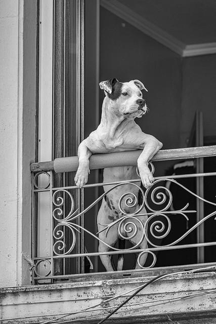 Le chien spectateur b&w