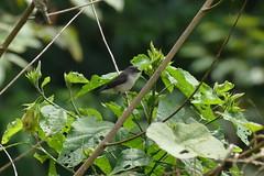 1.31802 Capucin bicolore (immature) / Spermestes bicolor poensis / Black-and-white Mannikin
