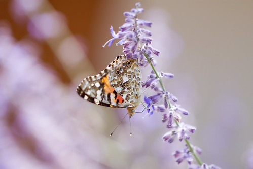 Butterfly in Russian Sage 1