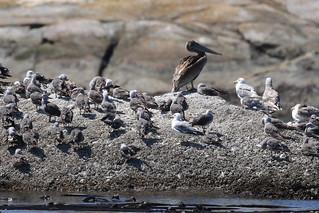 Brown Pelican - Discovery Island, Victoria BC
