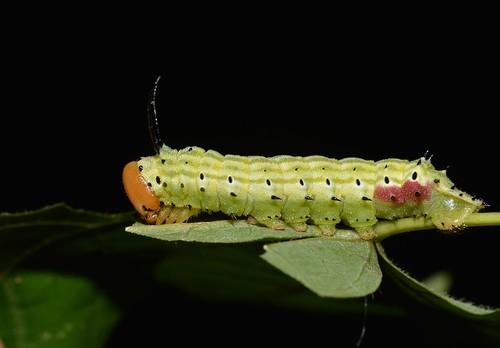 # 7715 – Dryocampa rubicunda – Rosy Maple Moth caterpillar