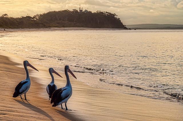 Golden Hour Pelicans
