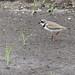 Flickr photo 'Semipalmated Plover (Charadrius semipalmatus)' by: Mary Keim.