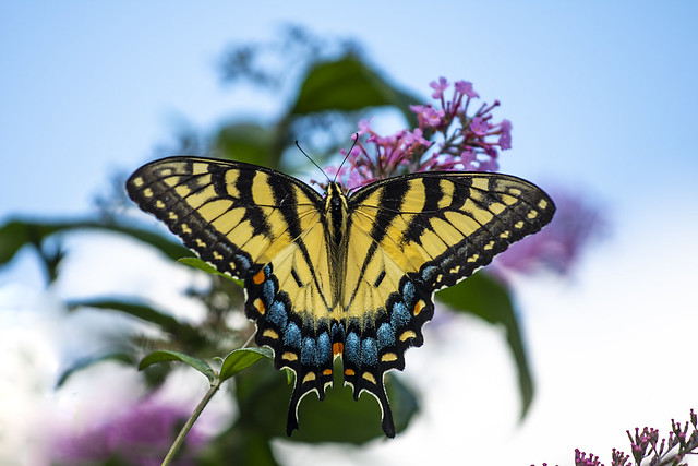 Swallowtail, Forget the rule of thirds when you can fill a poster frame for the butterfly lovers of this earth.
