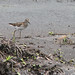 Flickr photo 'Least Sandpiper (Calidris minutilla)' by: Mary Keim.