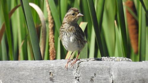 Juvenile House Sparrow.