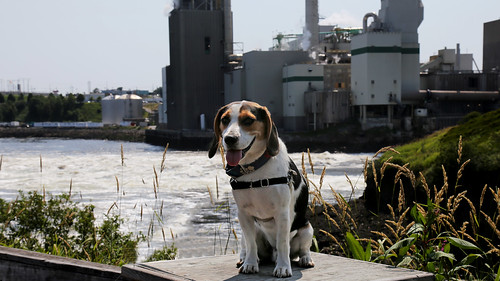 bentleyii bentley beagle pet animal saintjohn newbrunswick canada