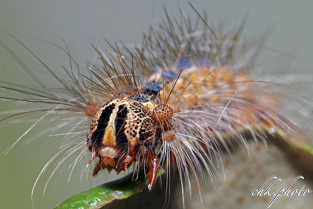 Caterpillar - Raupe des Schwammspinners (Lymantria dispar)