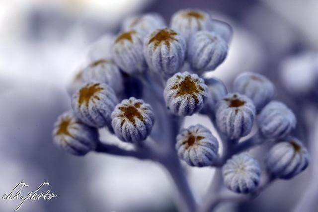 Weißfilzige Greiskraut (Jacobaea maritima), auch Silber-Greiskraut, Silberfarbiges Greiskraut, Zweifarbiges Greiskraut, Silberblatt oder Aschenpflanze