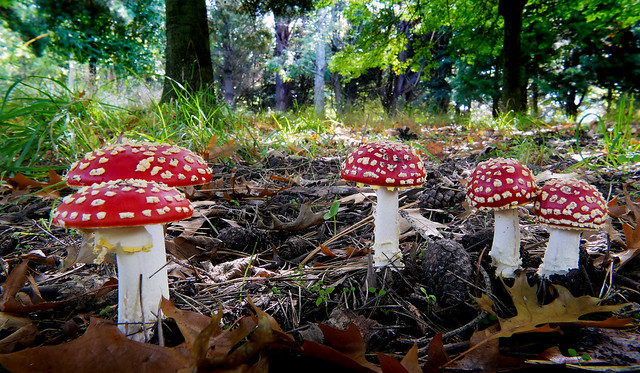 Fly Agric.(Amanita muscaria)