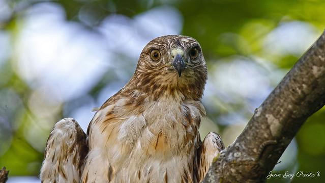 Buse a queue Rousse juvénile: ( Juvenile Red-tailed Hawk )