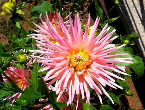 nos Dahlias en fleurs