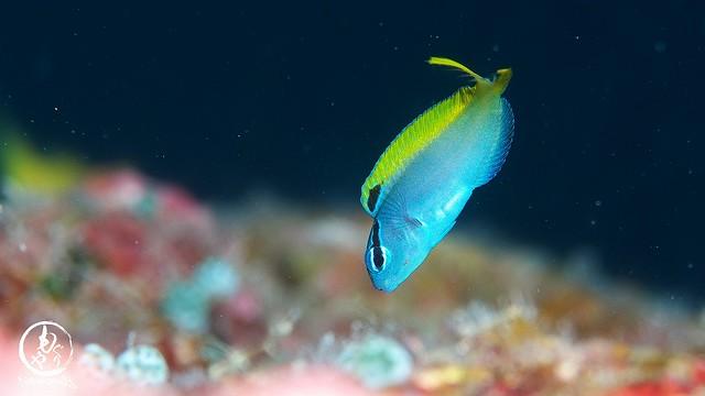 オオゴンニジギンポ幼魚ちゃん♪