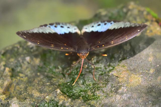 小豹律蛺蝶, Common Archduke, Lexias pardalis,