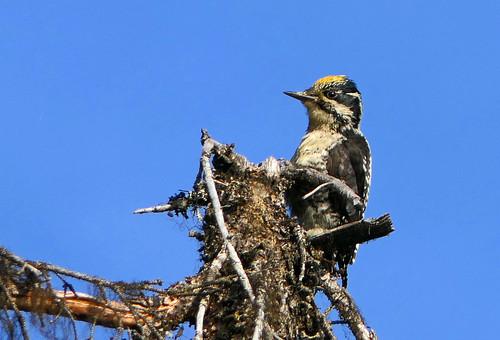 Three-toed Woodpecker, American Three-toed Woodpecker (Picoides tridactylus) (Picoides dorsalis) (Picoides tridactylus dorsalis)