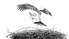 Black and white photo of a pair of white storks on the nest, in a courtship mating ritual display.