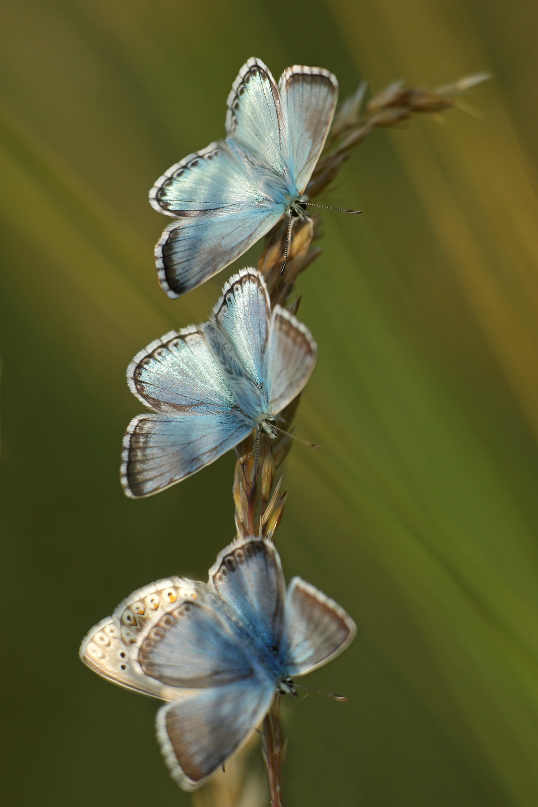 Chalkhill Blue Butterflies