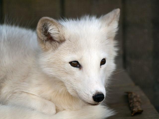Columbus Zoo 08-11-2012 - Arctic Fox 4