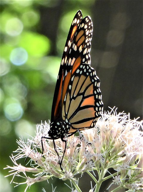 Wheaton, IL, Herrick Lake Forest Preserve, Monarch Butterfly