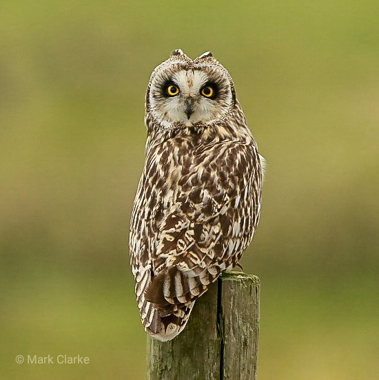 Short Eared Owl demonstrating it's ability to swivel its neck through 280°