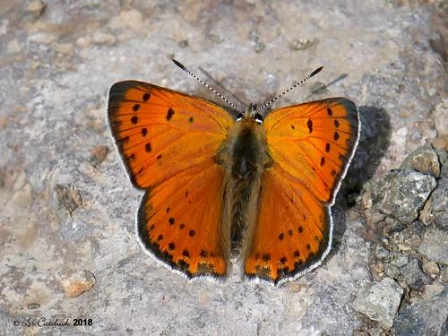 Anatolian fiery copper