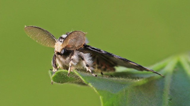 Black Arches moth (m) - Lymantria monacha
