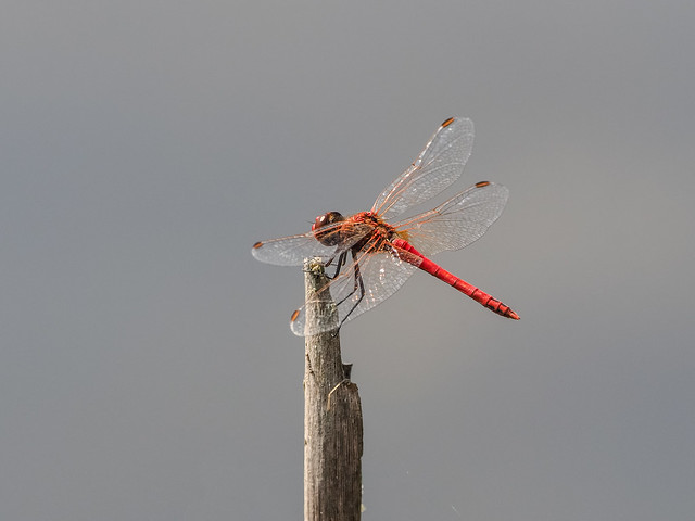 Rare Red-Veined Darter (Sympetrum fonscolombii)