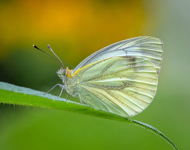 Green - veined White.