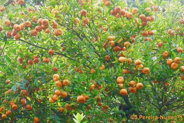 More tangerines, Jandira, Brazil