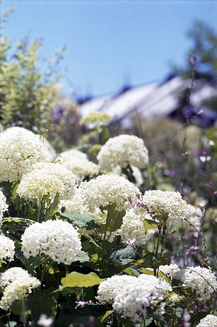 Flower of hydrangea in Minato-Mirai district,Yokohama city 2019/06 No.12(taken by film camera).