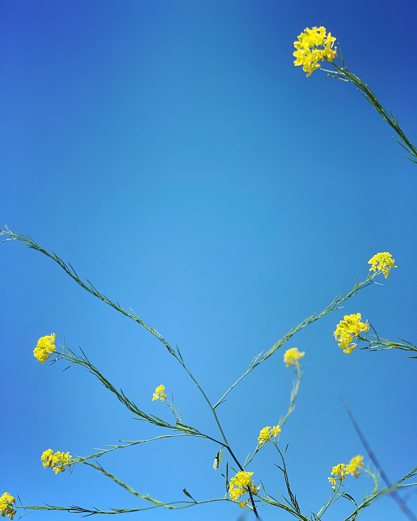 pretty yellow mustard plant against a blue sky