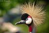 Kronenkranich / Crowned Crane by R.O. - Fotografie