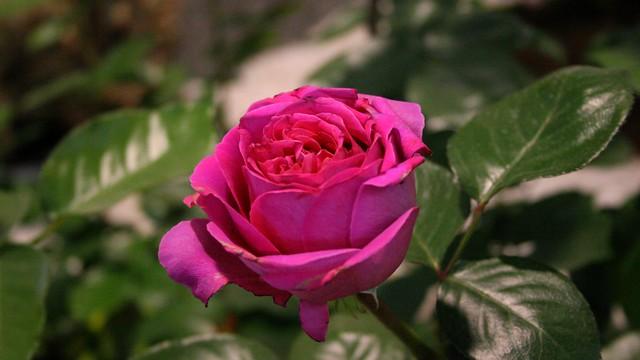 quand la rose était rose ...