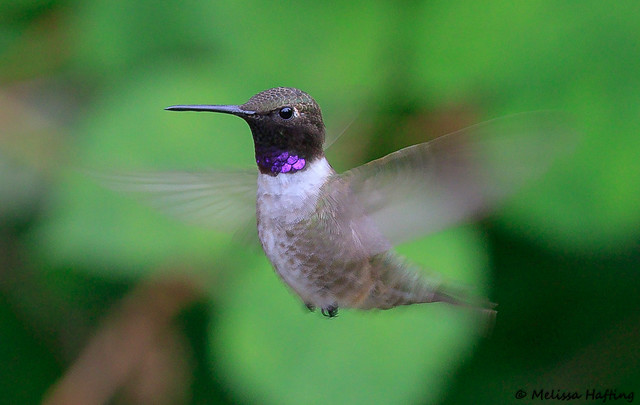 Black-chinned Hummingbird (Archilochus alexandri) - Richmond, BC