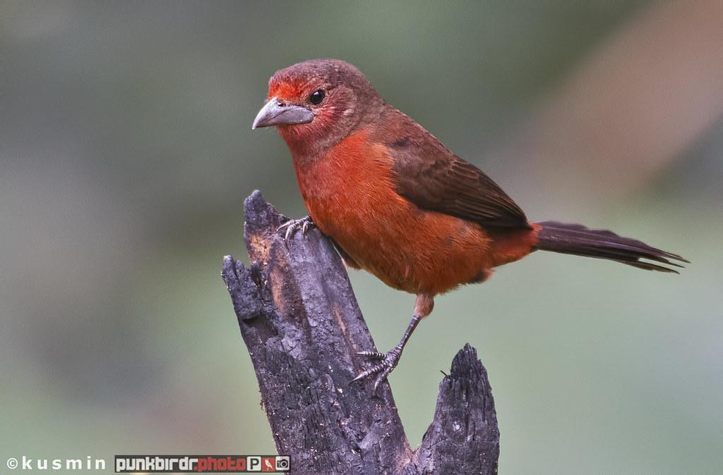 silver-beaked tanager - female (ramphocelus carbo)