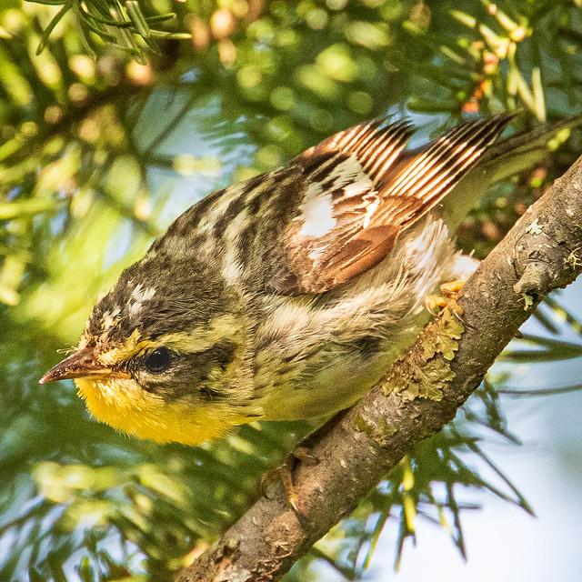 Blackburnian Warbler female or immature (or both)