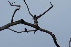 1.26564 Choucador à queue étroite / Poeoptera lugubris / Narrow-tailed Starling