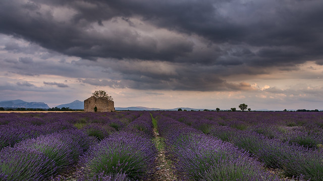 idyllic lavender field